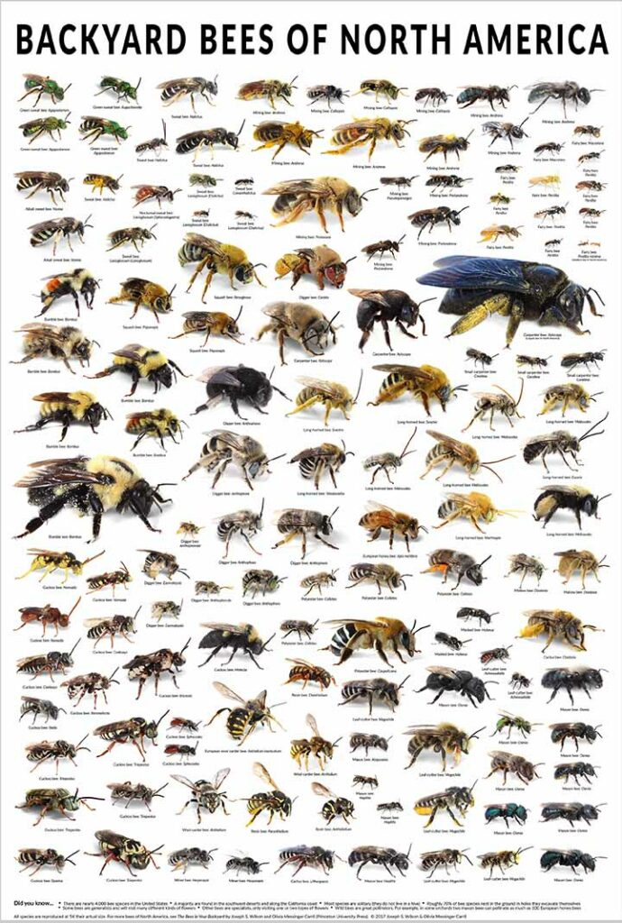 infographic poster of bees in North America